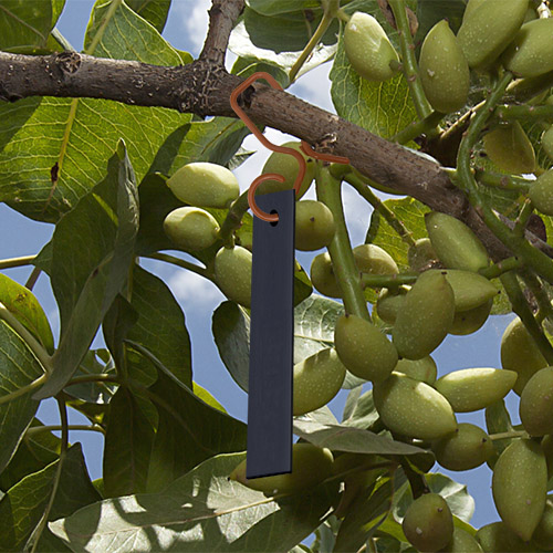 Cidetrak NOW MESO in pistachio tree