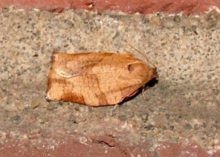 Oblique Banded Leafroller